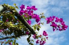 三角梅 光葉子花 苞花 花朵