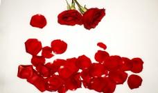 浪漫玫瑰花朵花瓣背景