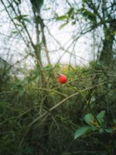 一颗红艳艳的蔷薇果子