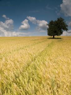 成熟的麦地