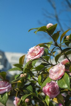 常见的鲜花之山茶花