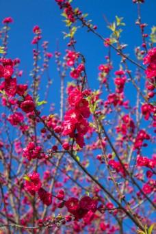 桃花树植物商用摄影