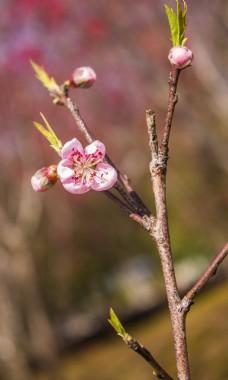 春天的桃花商用摄影