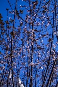 春天的梅花商用摄影