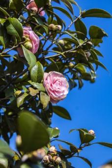 春天的山茶花商用摄影