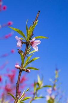 蓝天下的桃花摄影