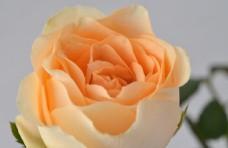 橘红色玫瑰