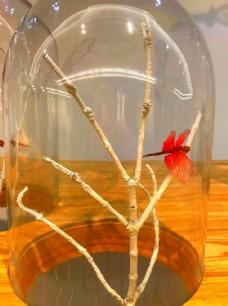 透明玻璃种的红蜻蜓
