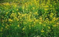 春天油菜花摄影图片