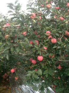 苹果 苹果树