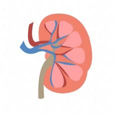 手绘人体器官结构图肾脏矢量免抠素材