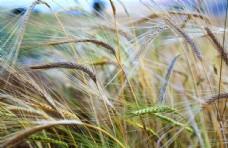 小麦麦子农村粮食麦穗植物6k图