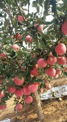 苹果树 苹果
