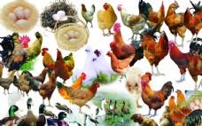 鸡鸭免抠图