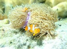 小丑鱼和海葵