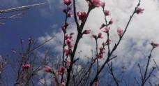 春天的桃花盛开