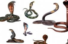 眼镜蛇01