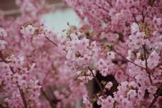 清新日系风樱花盛开