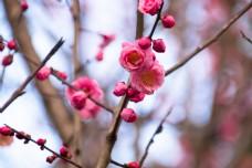 春季唯美粉色梅花海报背景
