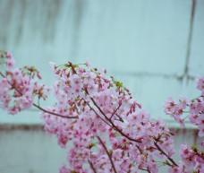 清新日系樱花摄影