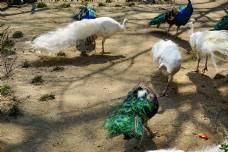 动物园里面一群漂亮的孔雀
