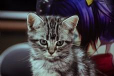 可爱英短猫宠物猫