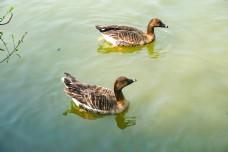 池塘里面一对游泳的野鸭