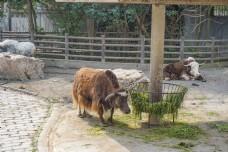 上海动物园正在吃草的牦牛