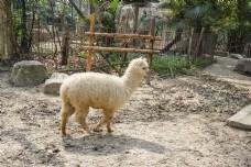 动物园里站着的羊驼