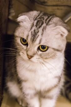 可爱折耳猫商用摄影
