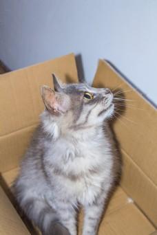蹲在纸箱里的猫咪