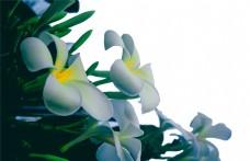 鸡蛋花 花 花卉 黄色的鸡蛋花