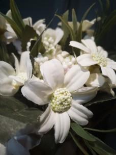 盛开的白色小花花蕊细节图