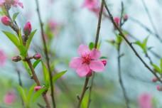 粉色小花桃花摄影