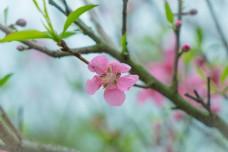 小清新春天桃花开花