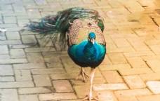 动物园里的美丽孔雀