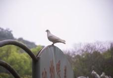 站在牌子上的白色鸽子