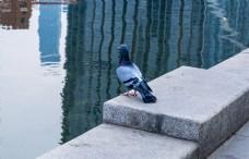静止的鸽子高清图片