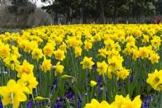 公园摄影黄色郁金香