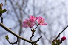 公园粉色海棠花摄影
