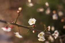 春天梨花开发之特写
