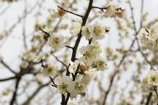 阳光下公园白色梅花摄影