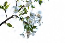 梨花特写 一枝梨花