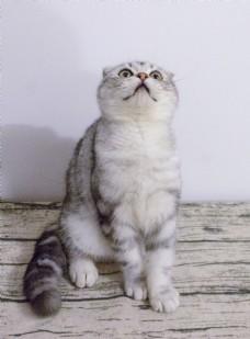 好奇的折耳猫咪摄影