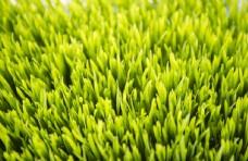 麦苗   绿色