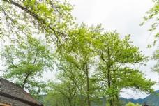 乡村家门绿树一景