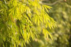 绿色翠竹竹叶春季背景