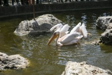 动物园常见鸟类火烈鸟6