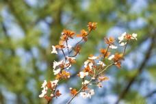 春天枝头樱花特写摄影